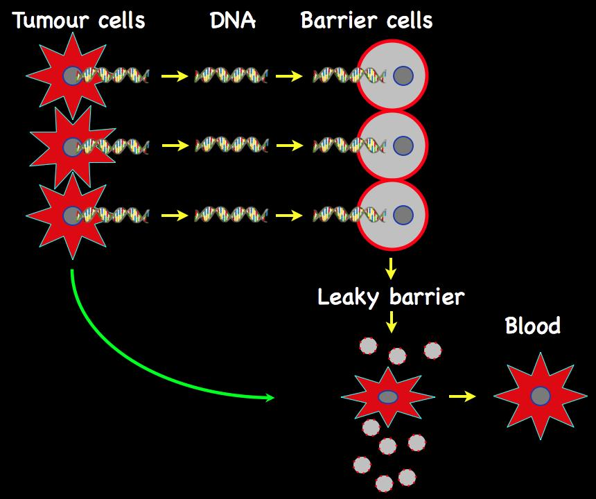 DNA fragments from tumour cells enter barrier cells and kill them, releasing tumour cells into the circulation.
