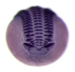 Embryos and Evolution Vedel