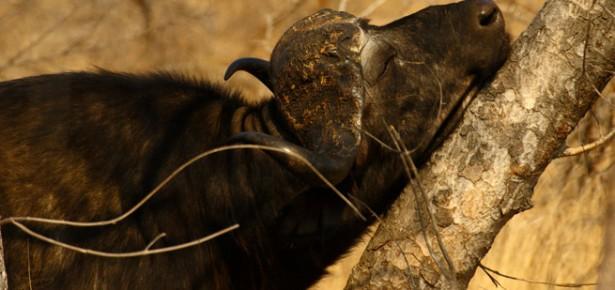 Cape Buffalo. Photo: Mario Melletti.