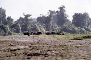 Feral water buffaloes in Assam by Anwaruddin  Choudhury.jpg