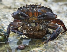 Shore crab with eggs.JPG (Tom Hartman) 2