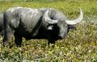 Wild water buffalo in Assam by Anwaruddin Choudhury.JPG