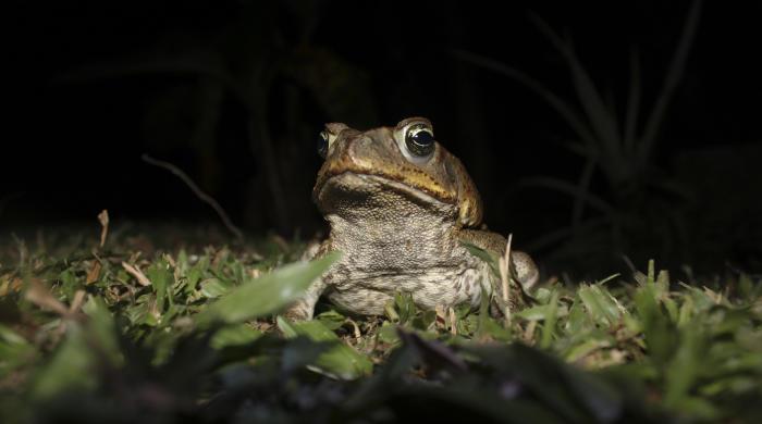 Cane Toad. Photo: Brian Gratwicke via Creative Commons.