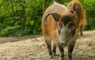 Red river hog. Photo by Mario  Melletti