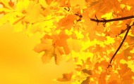 yellow-maple-leaves-1358164388V8j
