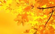 yellow-maple-leaves-1358164388V8j