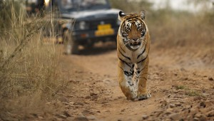 World Wildlife Day: Big Cats – predators under threat