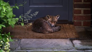Fox Relaxing Against Door In Yard