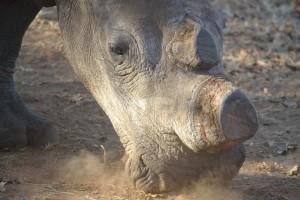 white-rhino-399558_960_720