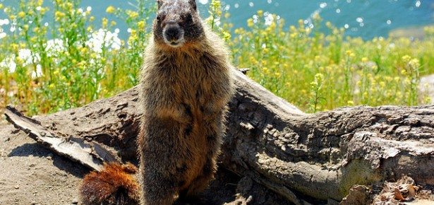 A yellow-bellied marmot