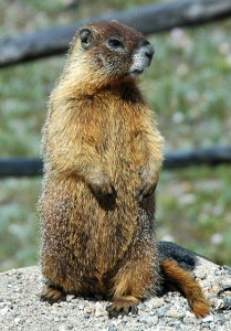 A yellow-bellied marmot standing