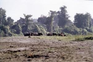 Feral water buffaloes in Assam by Anwaruddin  Choudhury.jpg