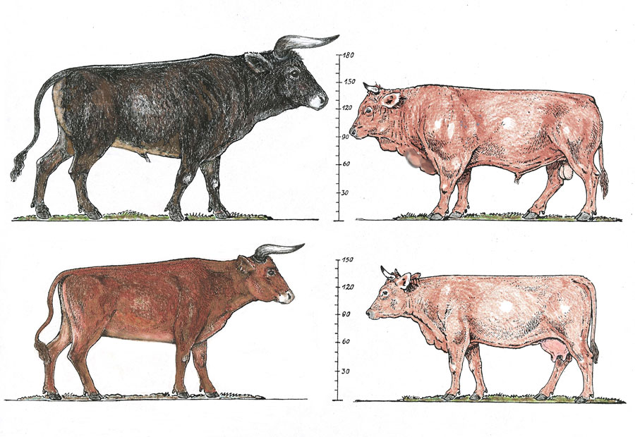 Comparison of bull and cow of the aurochs (left) and modern cattle (right). Courtesy T. Van Vuure